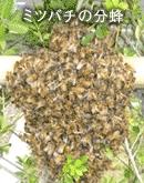 ミツバチの分蜂